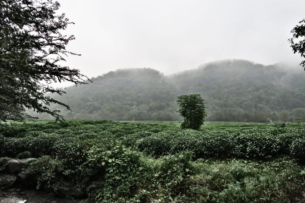 Champ et montagne de thé cohabitent