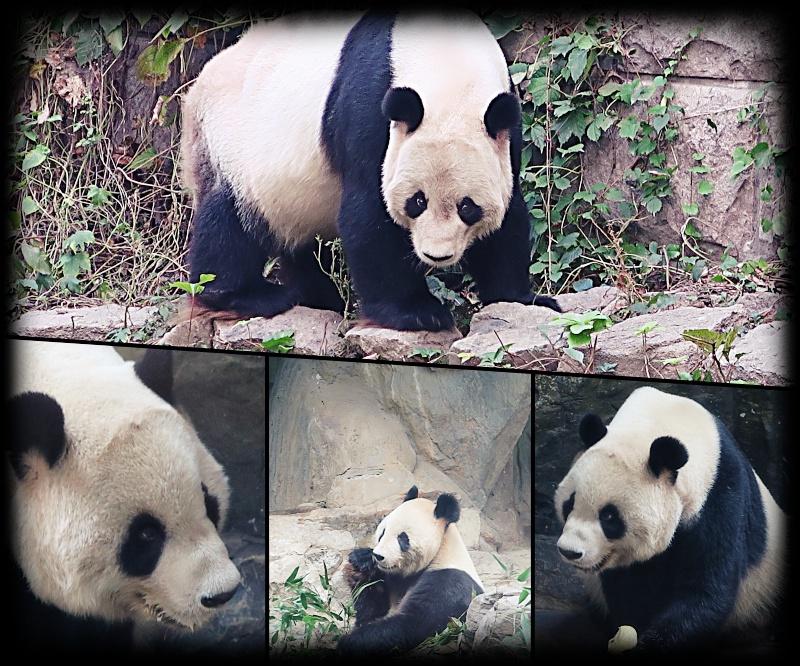 Panda en vrai